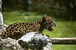 Jaguar Cub in Xcaret